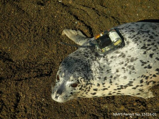 New technology was successfully used in MARES to learn about seal behavior